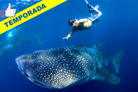 Swim with Whale Sharks from Cancun